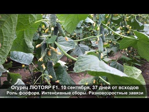 Огурец Лютояр F1 - 37 дней от всходов. Роль фосфора. Интенсивные сборы. Разновозрастные завязи