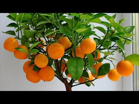 Мандариновое дерево. Как самому вырастить мандарин из косточки?