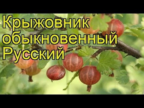 Крыжовник обыкновенный Русский. Краткий обзор, описание характеристик ribes uva crispa Russkii