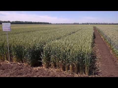 Алексеич. Пшеница мягкая озимая.