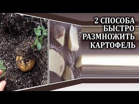 2 верных способа быстро размножить картофель.