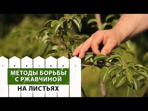 Советы по борьбе с РЖАВЧИНОЙ на листьях деревьев