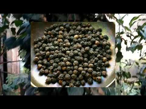 Лиана черного, душистого ПЕРЦА в Аптекарском огороде. Как растет черный перец.