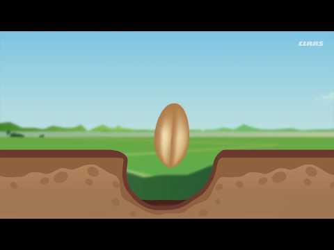 Как растет пшеница: от зернышка до сбора комбайнами