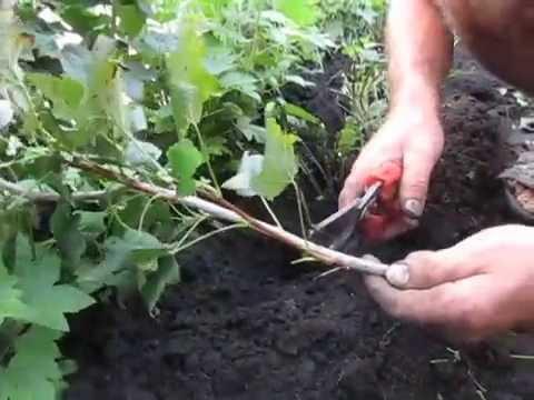 СМОРОДИНА. Как размножать смородину черенкованием.