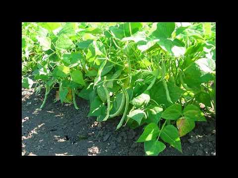 Посадка и уход за фасолью в открытом грунте
