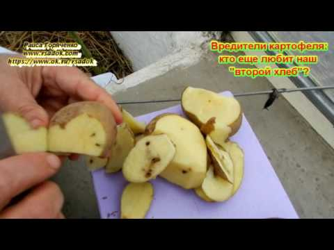 """Вредители картофеля: кто еще любит наш """"второй хлеб""""?"""