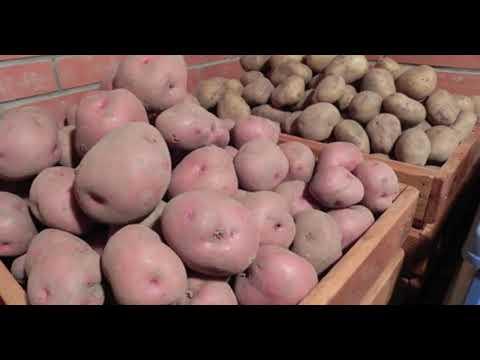 Из-за чего в погребе гниет картофель #почему гниёт картофель в погребе