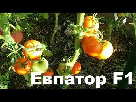"""Томат """"Евпатор - F1"""" Отличный гибрид для подмосковья"""