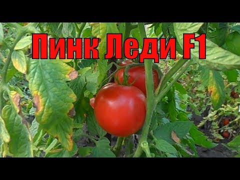 Урожайные сорта томатов 4-я часть. Пинк Леди F1.
