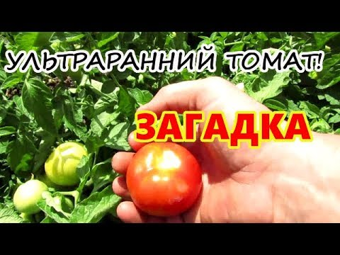 Ультраранний сорт томата Загадка.