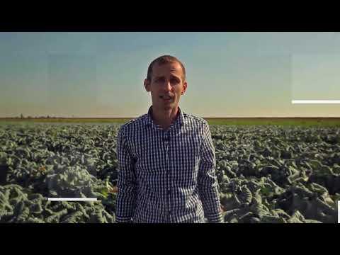 Капуста Ларсия F1. Обзор капусты Ларсия. Технология выращивания капусты Ларсия.