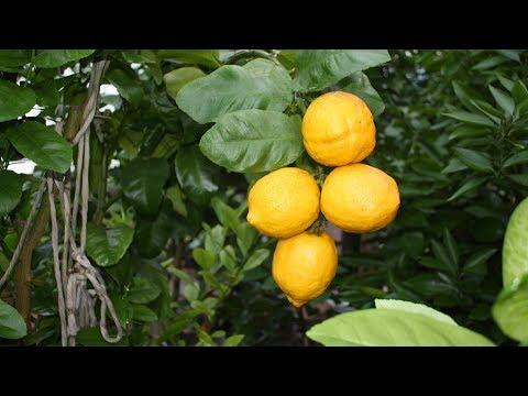 Комнатный лимон не будет болеть, если…