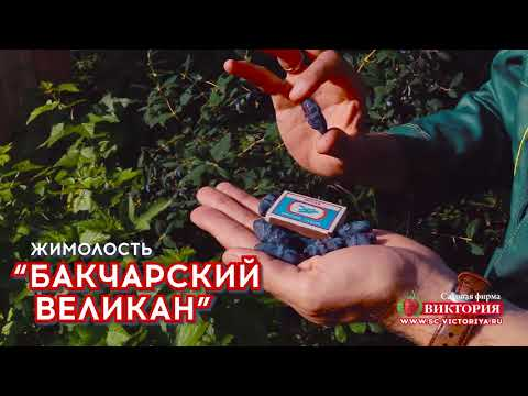 """Выдающаяся жимолость """"Бакчарский великан"""""""