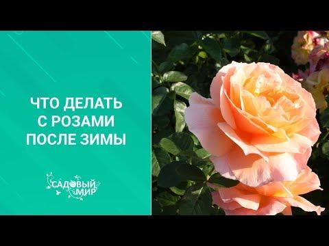 Что делать с розами после зимы