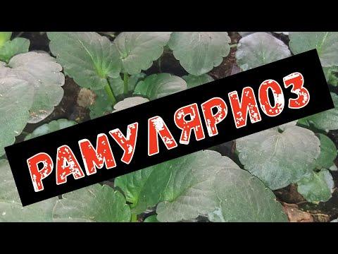 Рамуляриоз или белая пятнистость листьев.