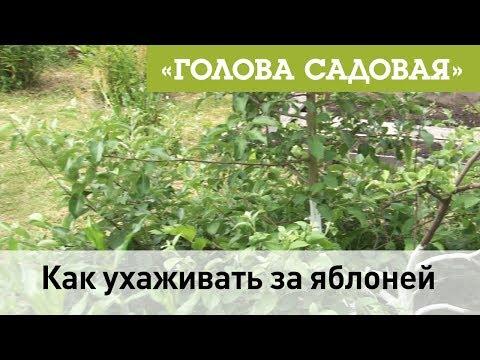 Голова садовая - Как ухаживать за яблоней