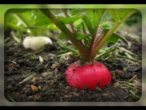 Садим редис, секреты супер урожая