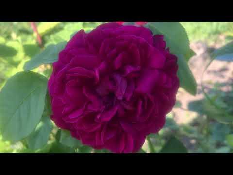 Фиолетовая Роза. Питомник Роз и Хвойных растений ЕЛЕНЫ ИВАЩЕНКО