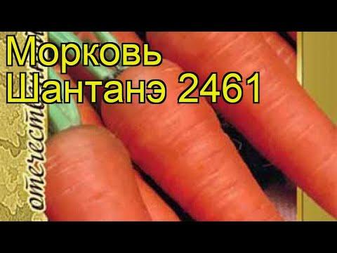 Морковь Шантанэ 2461. Краткий обзор, описание характеристик, где купить семена Shantane 2461