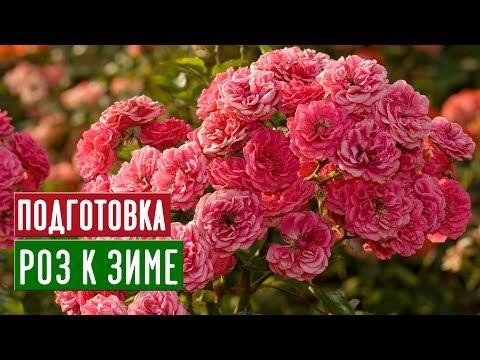 Розы в августе и сентябре 🌸 Что обязательно нужно сделать? / Садовый гид