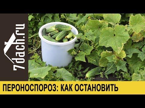 Пероноспороз огурцов: как его остановить и продлить плодоношение - 7 дач