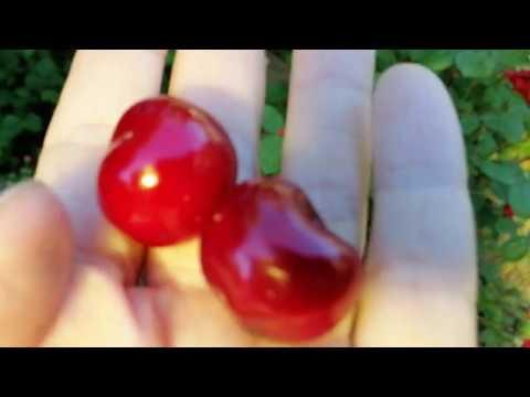 Чудо вишня лучший гибрид вишни и черешни что ждать от поросли