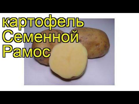 Картофель семенной Рамос. Краткий обзор, описание характеристик, где купить картофель Ramos