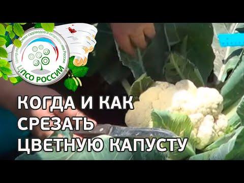 🥦 Сбор урожая цветной капусты. Какого размера должны быть соцветия цветной капусты.