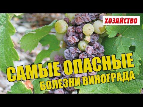 Опасные болезни винограда и как с ними бороться
