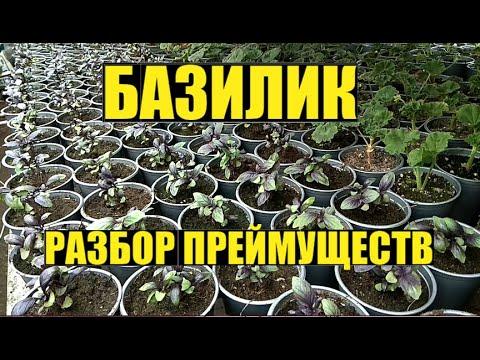 Базилик - выращивание на продажу.