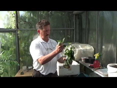 Размножение плодовых деревьев зелеными черенками.