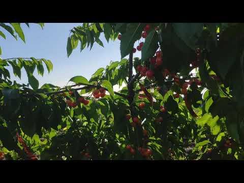 Черешня Брянская Розовая. Барский сад