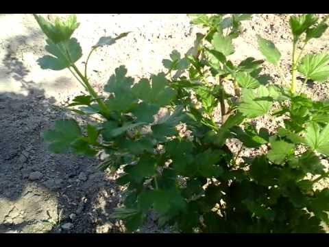 Крыжовник сорт Уральский виноград