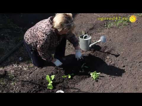 Уплотненные посадки капусты, свеклы и томатов. Растения - добрые соседи