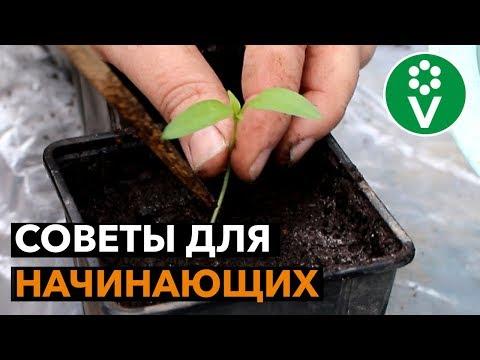 ПИКИРОВКА РАССАДЫ ПЕРЦА без ошибок!