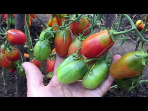 Этот томат останется на вашей грядке навсегда. ЧИО ЧИО САН.