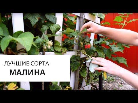 Малина: какие сорта стоит сажать