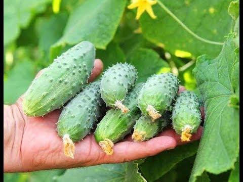 Секреты выращивания огурцов / Стабильный урожай с ранней весны до заморозков