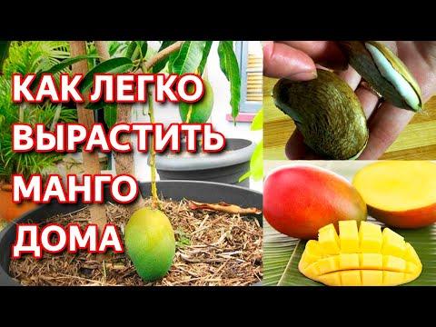 Как вырастить манго из косточки в домашних условиях. Простые способы выращивания манго дома.
