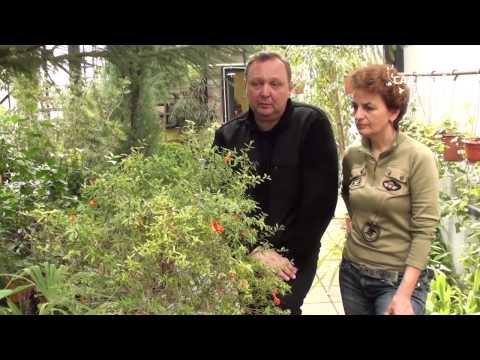 """Как выращивать комнатный гранат. Сайт """"Садовый мир"""""""