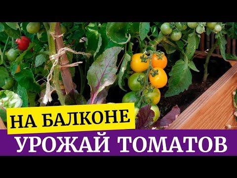 Томаты на балконе от А до Я. Первый урожай, сорта.