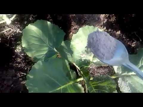 Подкормка капусты после высадки в открытый грунт! Почему она так важна???!