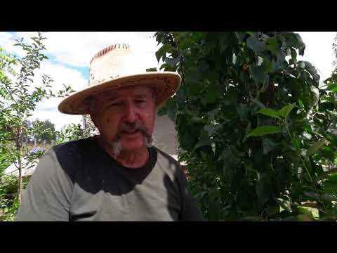Вишнево-черешневый гибрид (дюк) Призвание: собираем урожай