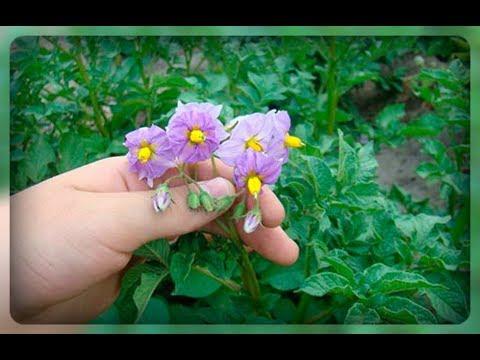 Картофель цветет. Нужно ли обрывать цветы у картофеля,чтобы получить больше урожай??