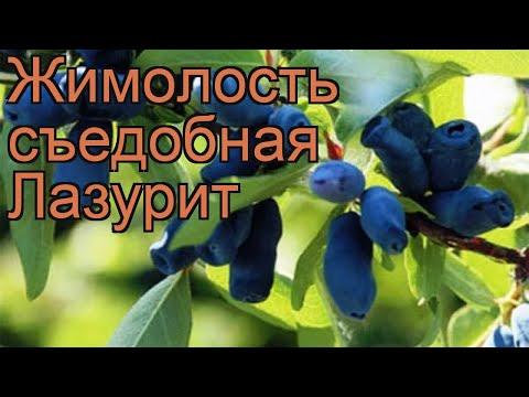 Жимолость съедобная Лазурит (lonicera edulis) 🌿 Лазурит обзор: как сажать, саженцы жимолости Лазурит