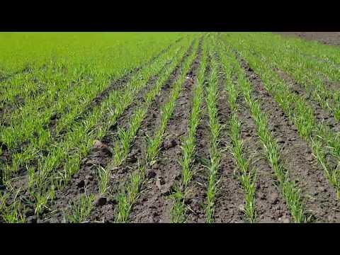Что будет если посеять озимую пшеницу весной???