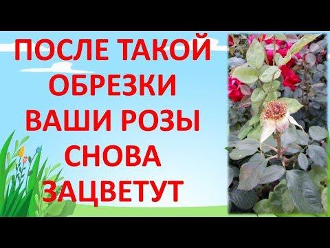 КАК ОБРЕЗАТЬ РОЗУ 🌹 ПОСЛЕ ЦВЕТЕНИЯ 🥀 ЛЕТОМ 🌞 Обрезка роз летом. Как выращивать розы.
