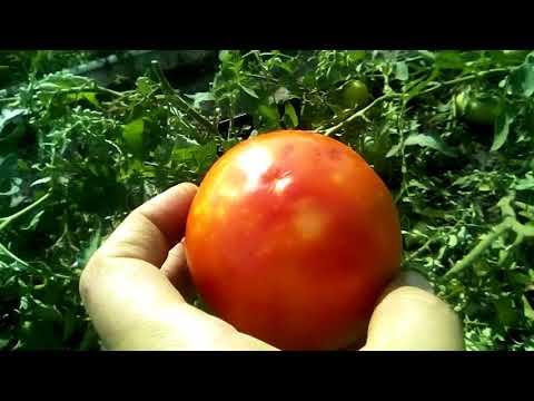 2018 08 04 обзор помидора сорт Волгоградский