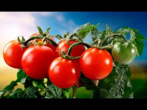 Сорта томатов для теплиц . Среднерослые томаты. Приусадебное хозяйство.